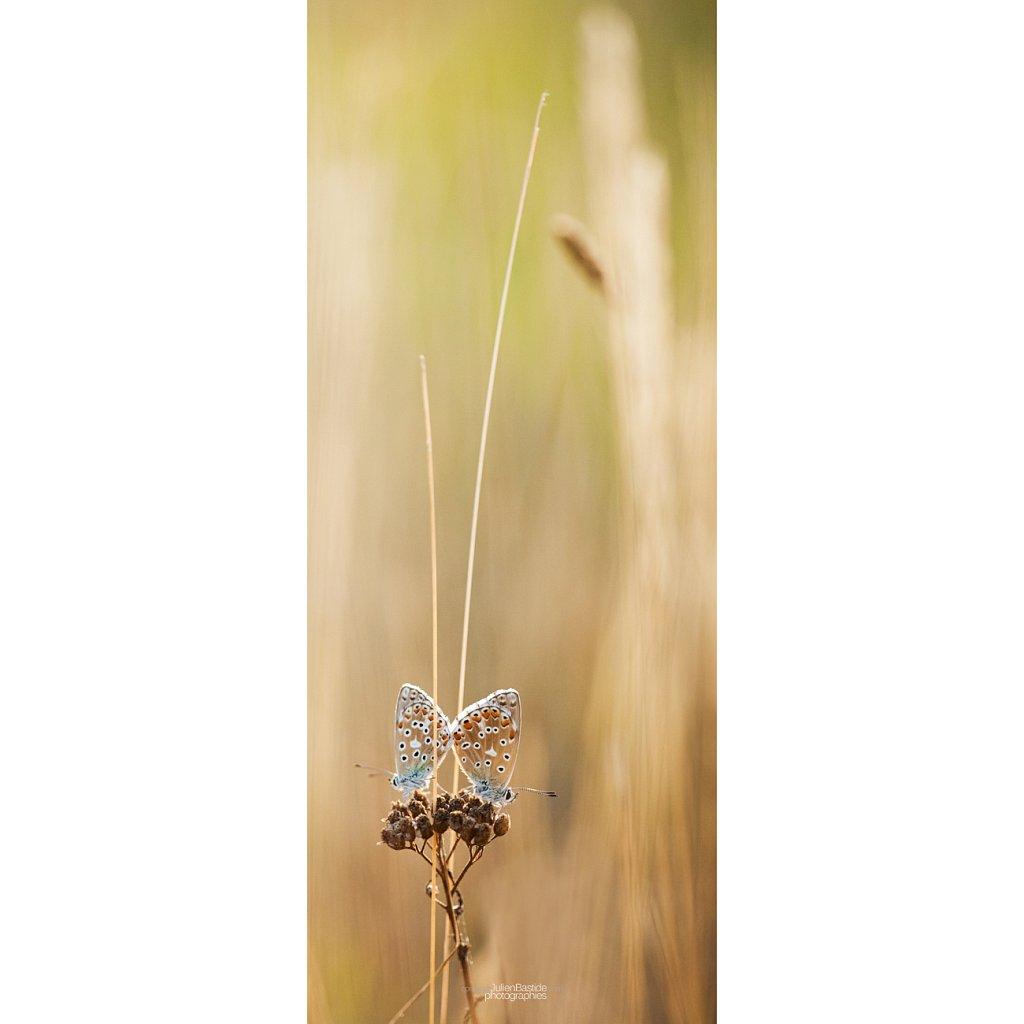 Papillons en couple vertical