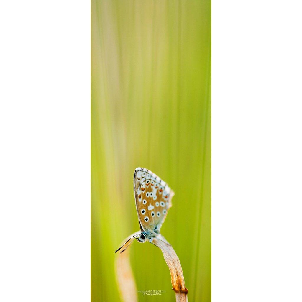 Papillon vertical