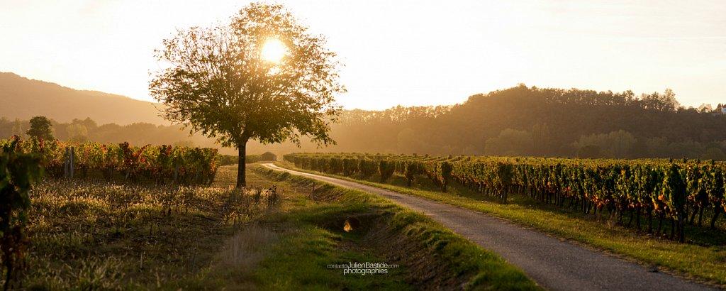 Vignes au coucher du soleil
